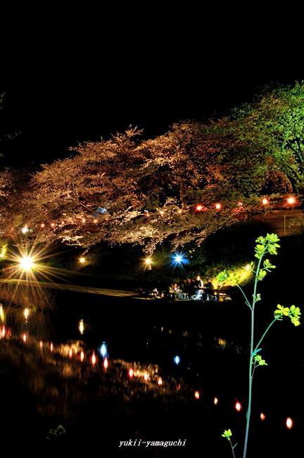 美祢桜ライトアップ09.jpg