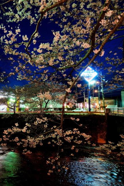 美祢桜ライトアップ11.jpg