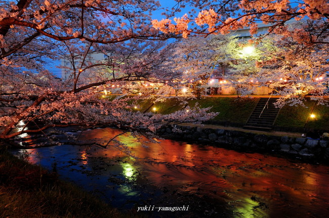 美祢桜ライトアップ12.jpg
