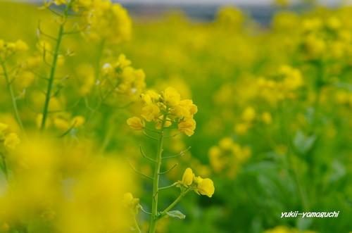 冬咲菜花02.jpg