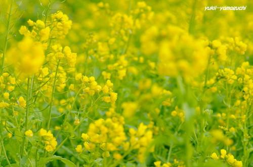 冬咲菜花03.jpg