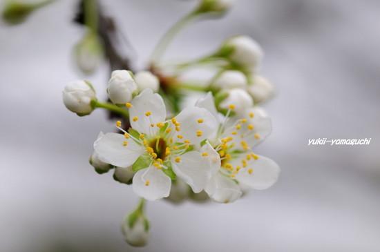 南明寺で緑の桜02.jpg