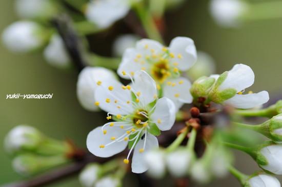 南明寺で緑の桜03.jpg