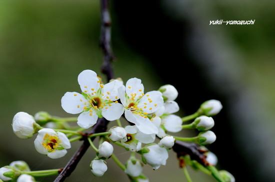 南明寺で緑の桜04.jpg