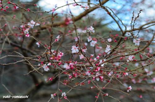 萩寒桜06.jpg