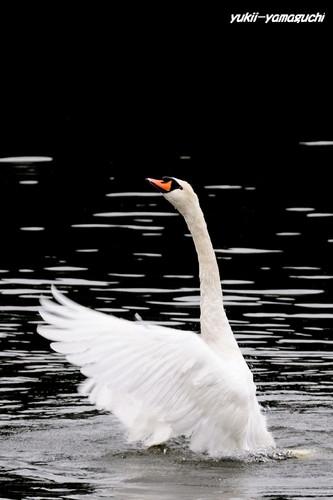 白鳥01.jpg