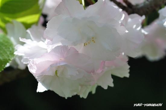 八重桜02.jpg