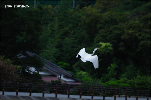 毛利庭園シラサギ01.jpg