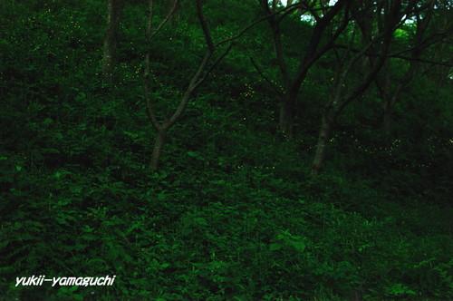 竜王山ヒメホタル 0023.jpg