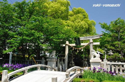 老松神社菖蒲02.jpg