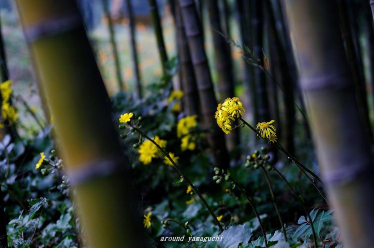 ツワブキの花02.jpg