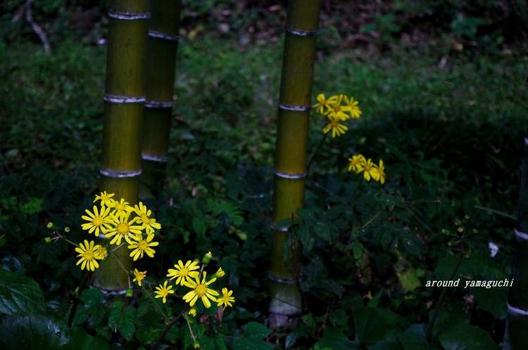 ツワブキの花03.jpg
