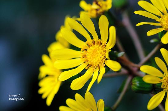 ツワブキの花06.jpg