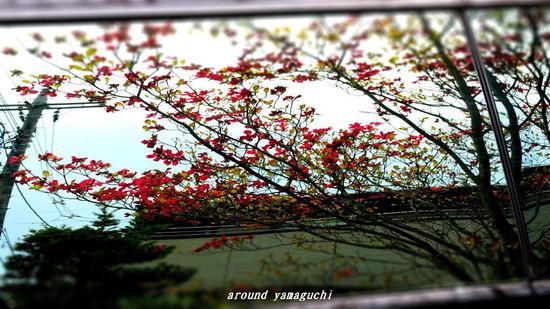 ハナミズキ12.jpg