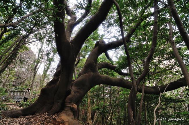 ハマセンダン巨木02.jpg