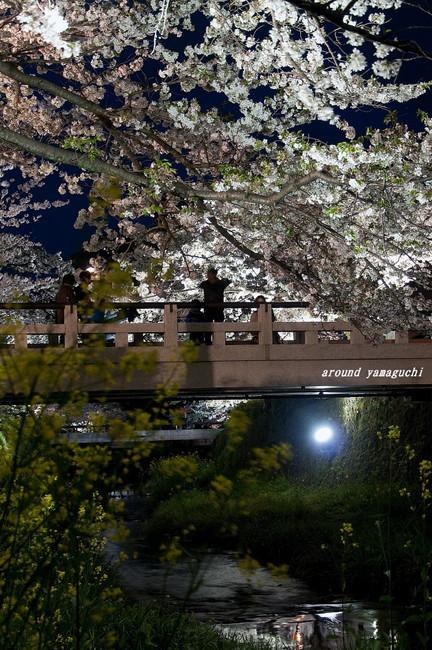 一の坂川夜桜10.jpg