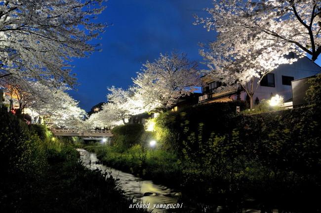 一の坂川夜桜11.jpg
