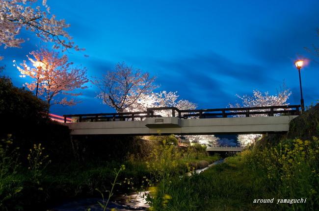 一の坂川夜桜12.jpg