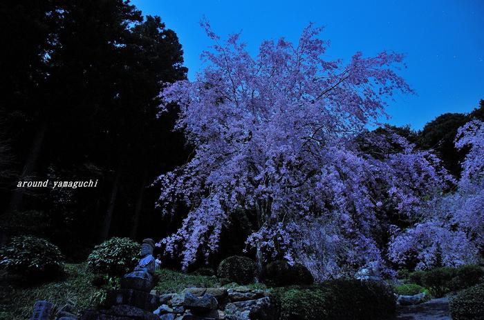 南原寺夜桜00.jpg