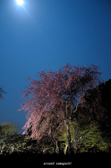 南原寺夜桜09.jpg