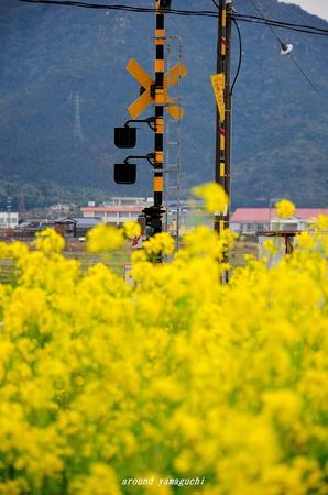 台道菜の花02.jpg