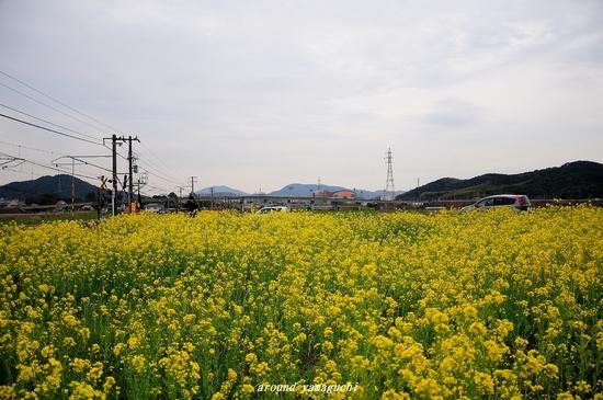 台道菜の花03.jpg