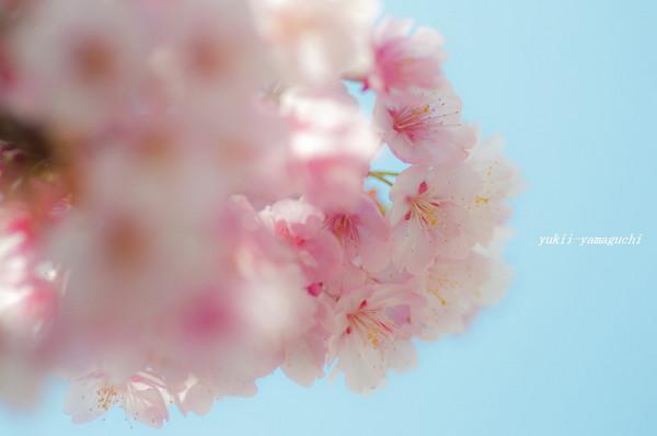 向島寒桜06.jpg
