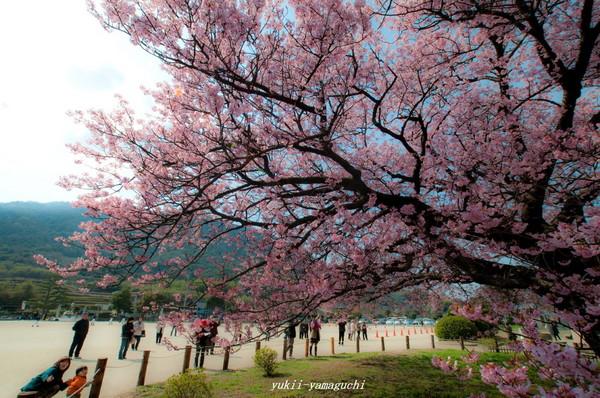 向島寒桜12.jpg