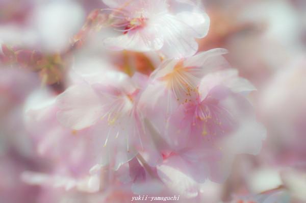 向島寒桜14.jpg