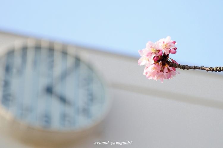 向島蓬莱桜01.jpg