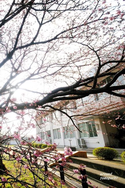 向島蓬莱桜06.jpg