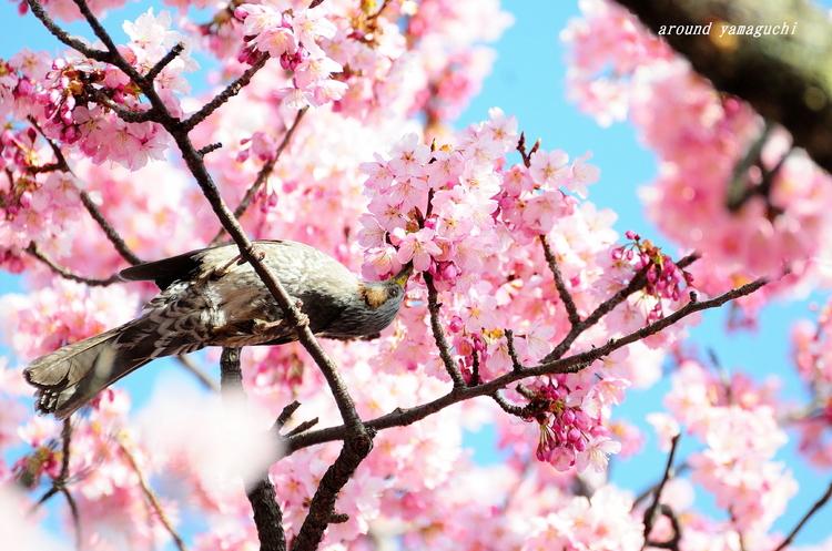 向島蓬莱桜08.jpg