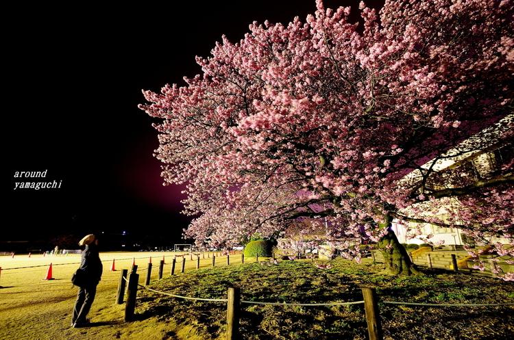向島蓬莱桜11.jpg