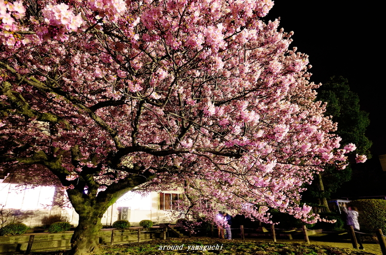 向島蓬莱桜12.jpg