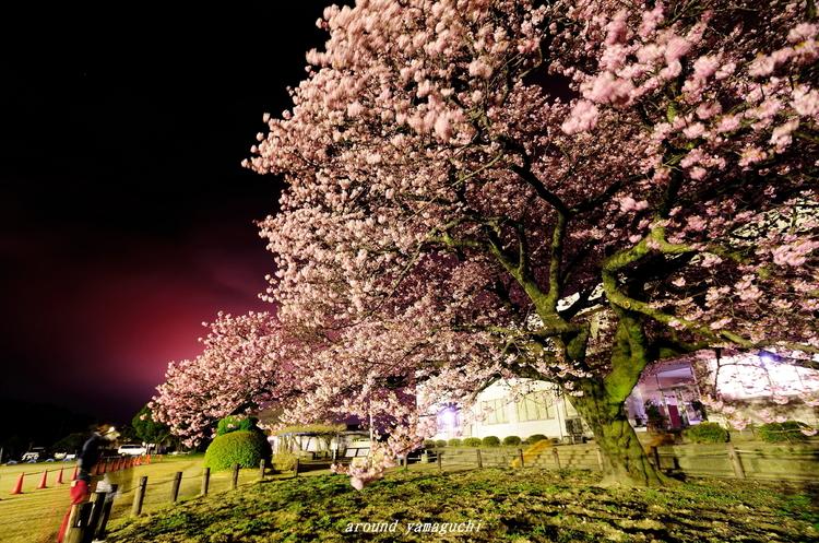 向島蓬莱桜16.jpg