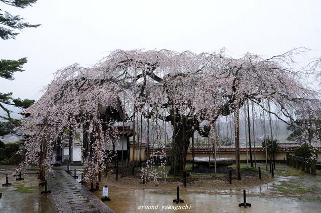 圓立寺のしだれ01.jpg