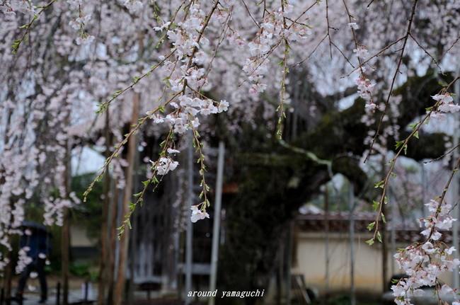 圓立寺のしだれ02.jpg