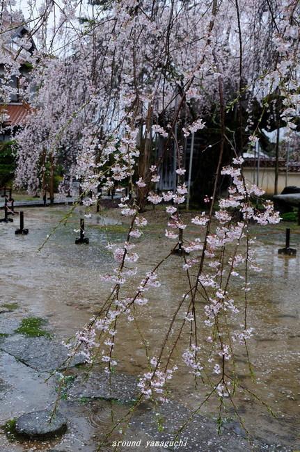 圓立寺のしだれ03.jpg
