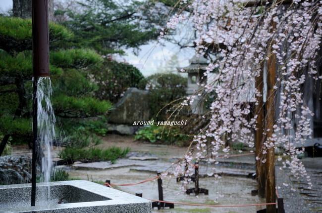 圓立寺のしだれ06.jpg
