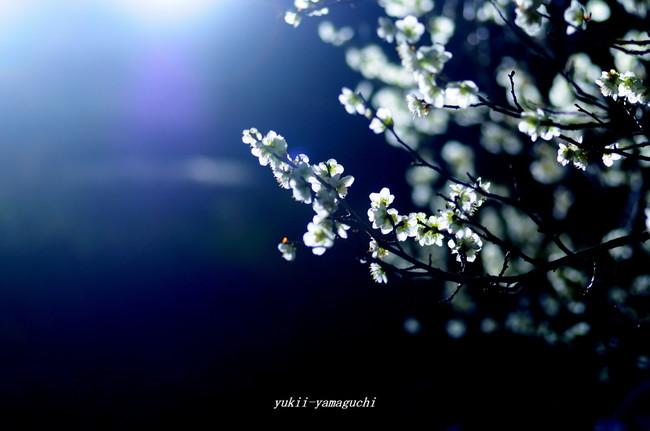 夜の梅05.jpg