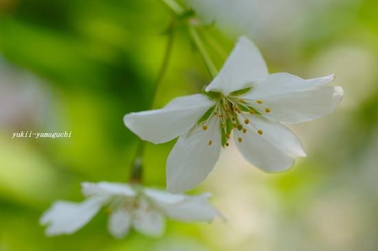 山桜01.jpg