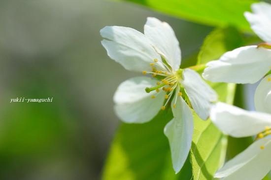 山桜06.jpg