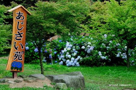 常盤公園あじさい園17.jpg