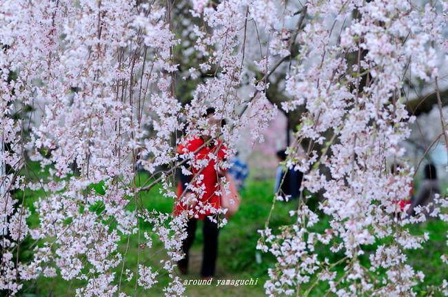 徳佐しだれ桜10.jpg
