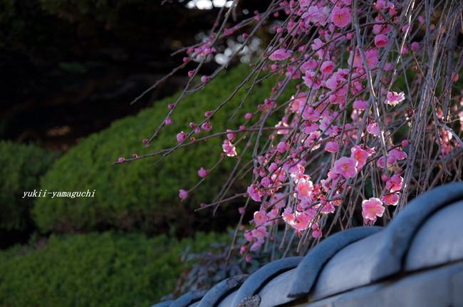 梅のある家03.jpg