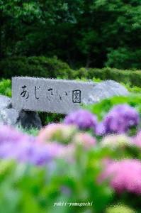 江汐アジサイ05_1.jpg