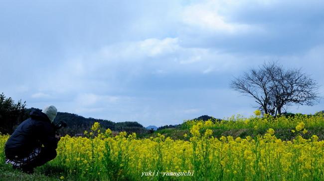 秋穂菜の花05.jpg