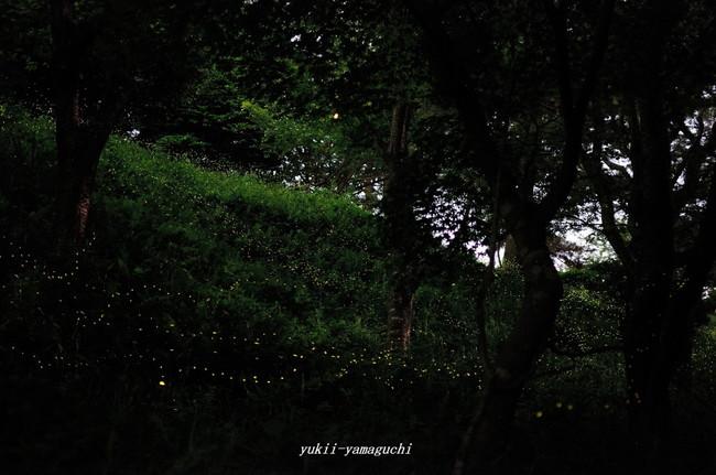 竜王山ヒメホタル03.jpg