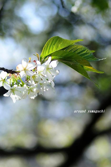 竜王山山桜06.jpg