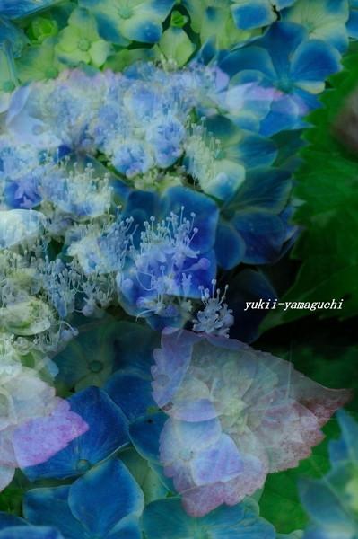 紫陽花02.jpg